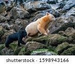 Small photo of Family Barnacle Hunting - A Spirit Bear mother and her black bear cub climb in the rocks along the shore in search of Barnacles. Great Bear Rainforest, British Columbia, Canada.