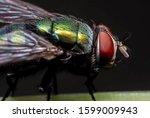 Macro photography of blowfly on ...