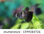 Small photo of Gymnocorymbus ternetzi. Funeral ternary floats in the aquarium