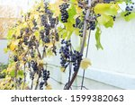 Bunches Of Ripe Red Grapes On A ...