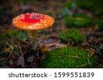 Beautiful Red Agaric Mushroom....