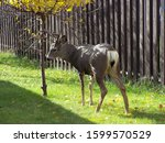 Young Buck Deer Getting Up Fro...