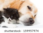 Stock photo golden retriever with a persian cat sleeping together 159957974