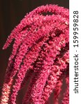 Small photo of Inflorescence of Red amaranth (Amaranthus cruentus)