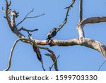 Falco sparverius resting on branch of a dry tree, in a blue sky day, sunny, beautiful day.