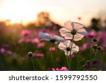 Focus On A White Cosmos Flower...