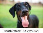 the doberman pinscher  an...   Shutterstock . vector #159993764