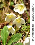 Small photo of Snow rose or Christmas rose blooms in spring in the Salzkammergut (Upper Austria, Austria)