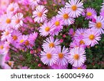 Pink Asters Growing In The Park....