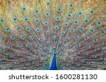 The Indian Peafowl  Also Known...