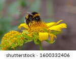 A Bumblebee Collects Nectar On...