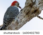 Red Bellied Woodpecker Eating...