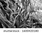 Gnarled Tree Roots In Black An...