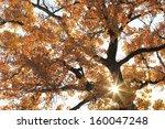 Close Up Of Cottonwood Tree...