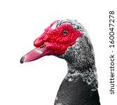 Muscovy Duck  Cairina Moschata...