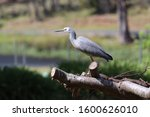 White Faced Heron Perched On A...