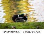 Mallard Wild Male Duck Cleanin...