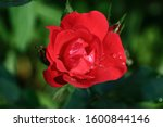 Red Rose With Raindrops. Roses...