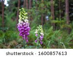 The Foxglove Flower  Digitalis...