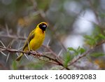 Southern Masked Weaver  Ploceus ...