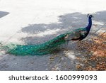 Wild Peacock Bird  Male Peafow...