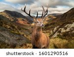 Epic Autumn Fall landscape of red deer stag in front of mountain landscape in background