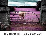 Cow Behind Ancient Gates With...