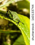 Small photo of The green stink bug (Acrosternum hilare)