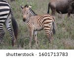Newborn Zebra Only Few Hours...