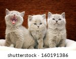 Stock photo group of cute gray british kittens 160191386