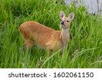 Chinese Water Deer In Long...