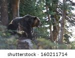 Grizzly Bear Roaring In The...