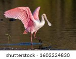 Roseate Spoonbill Walks Along...