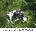 Happy Dalmatian Dog Rolling On...
