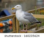 A Seagull  Perched On A Fence...