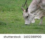 Nelore Ox Eating Grass. Green...