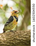 Crested Barbet At A Nature...