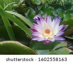 lotus. nature. leaves.... | Shutterstock . vector #1602558163