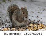 Squirrel. Eastern Gray Squirrel ...
