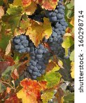 Red grapes with turning leaves in France - stock photo
