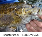 close up of smallmouth bass  eyes fins and mouth freshwater fishing