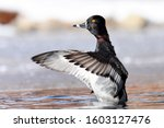 A Male Ring Necked Duck Flaps...