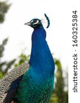Closeup of a peacock posing in profile. - stock photo