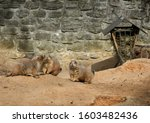 The black-tailed prairie dog (Cynomys ludovicianus) is a rodent of the family Sciuridae found in the Great Plains of North America from about the United States-Canada border to the US-Mexico border.