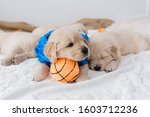 Golden Retriever Puppies with Basketball and Tennis Ball