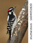 Male Downy Woodpecker Perched...