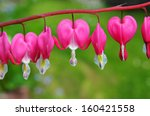 Bleeding Heart  Dicentra...