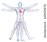 vitruvian man   vascular system | Shutterstock . vector #160429670