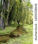 Willow Trees Next To Stream