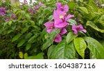 Bougainvillea Glabra Purple...